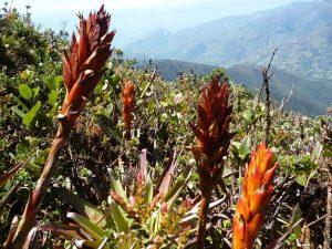 Flowers in Podocarpus