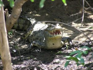 Big caiman in the Amazon