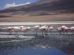 Flamingos Salar tours