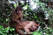 Kapucijn apen in de Amazone