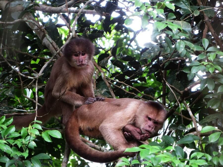 Capuchin monkies in the Amazon