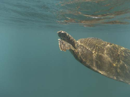 Turtle during Galapagos Tour