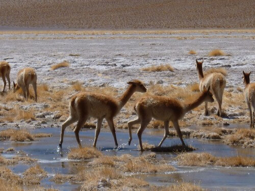 Vicuñas in the Salar de Uyuni