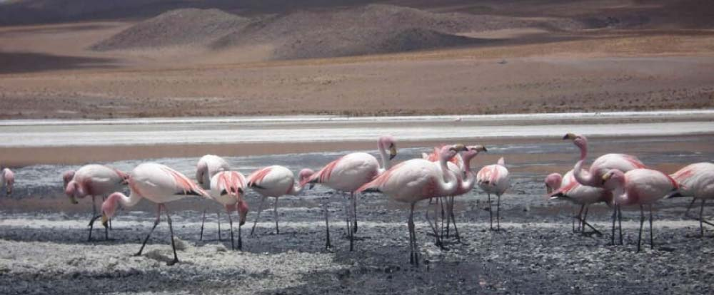 Flamingos in Salar de Uyuni Tour