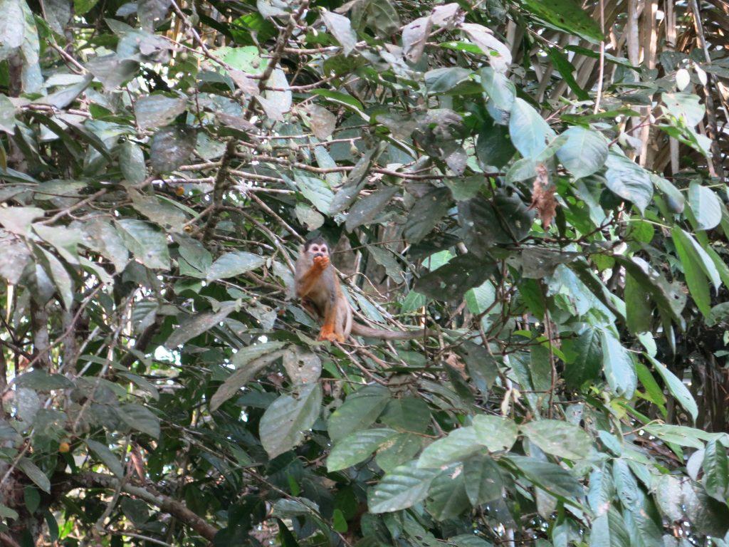 capuchin-monkeys-amazon-tour-bolivia