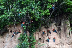 papagaaien Amazone Klei-lik Peru