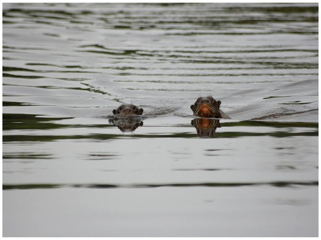 Otters in the Amazon