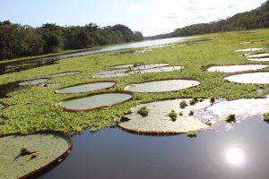 Victoria waterlelies Iquitos Peru