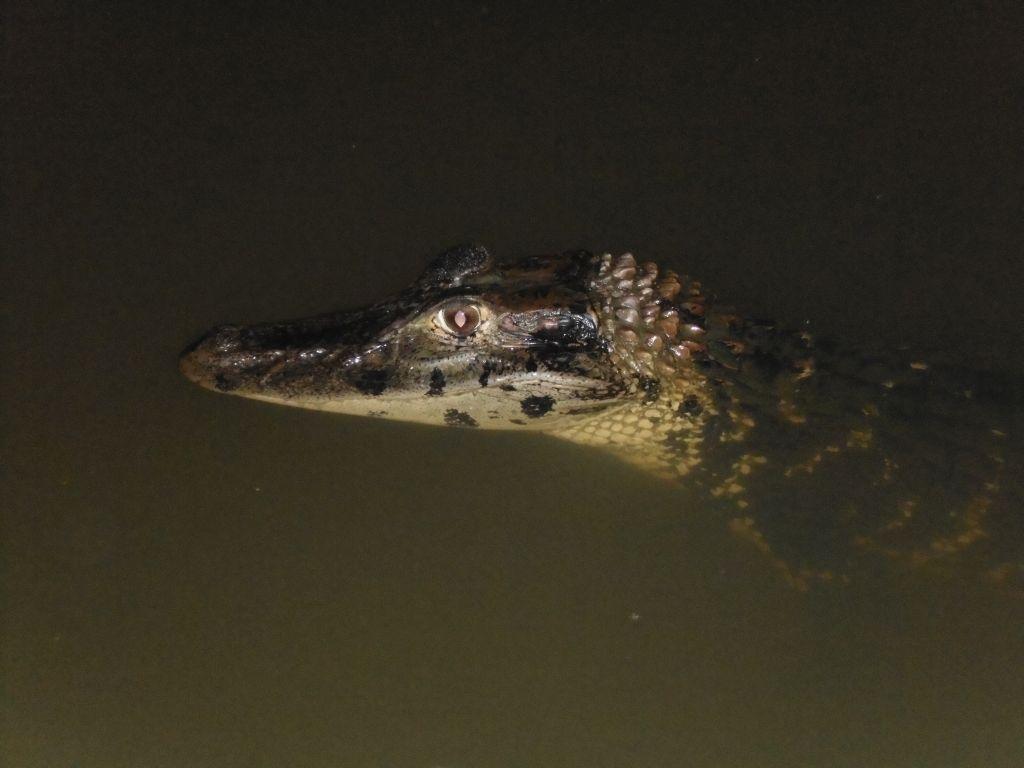 Kaaiman in de Amazone