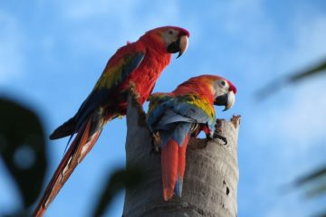 Amazon Tour macaws