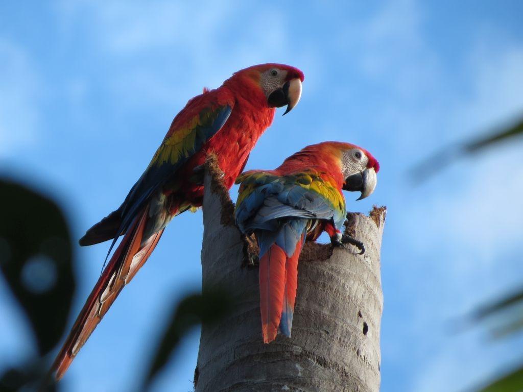 Amazon Tour macaws