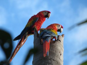 Red Macaws Amazon tours