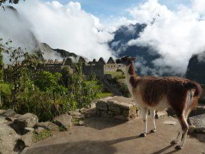 Lama Machu Picchu view