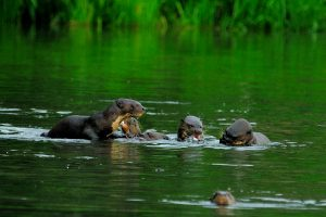 Giant River Otters in Manu