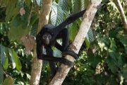 Spider Monkey in the Amazon