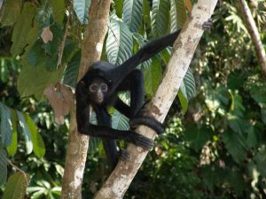 Spider monkey in Amazon