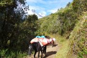 Horses on the Salkantay Trek