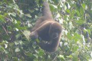 Wooler monkey Cuyabeno Tour