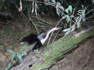 Heron Cuyabeno Amazon tour