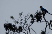 Macaw Cuyabeno Amazon tour
