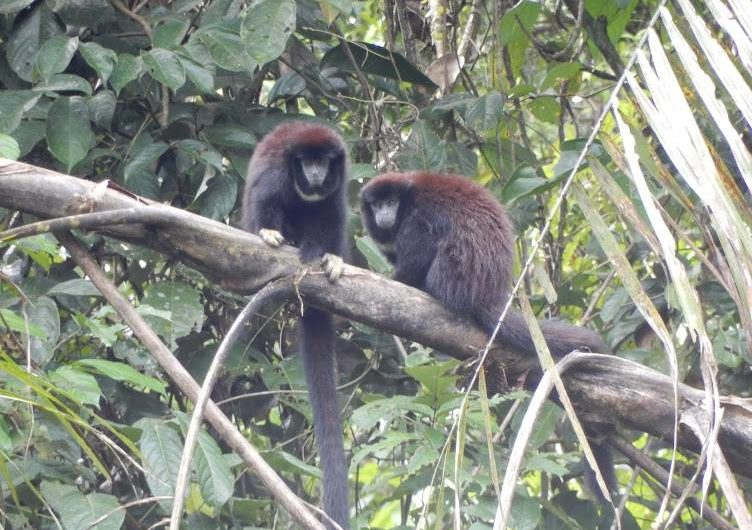 Tamarin monkeys Siona Amazon Lodge Ecuador