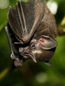 Vleermuis in Amazone Ecuador